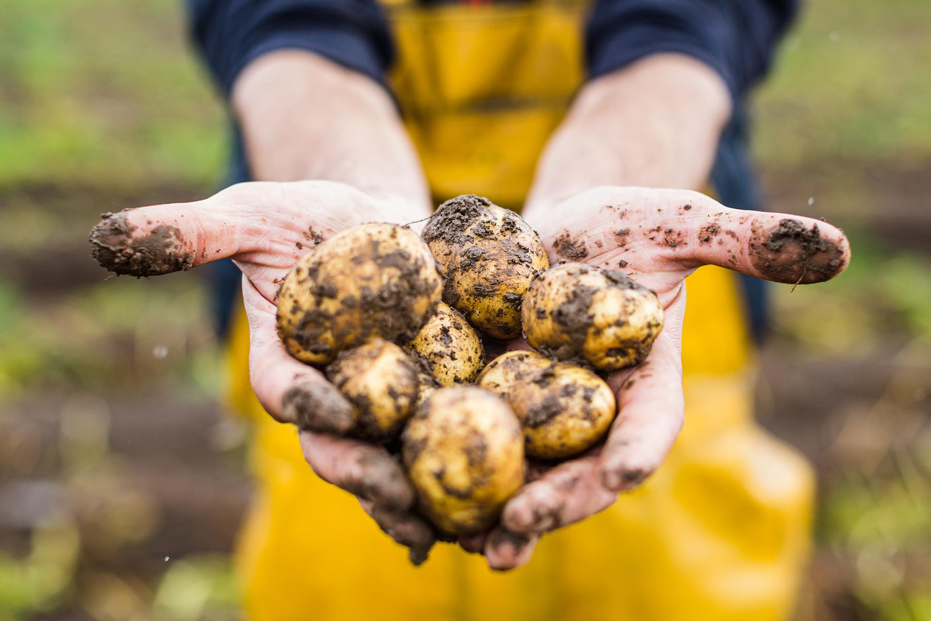 Pomme de terre primeur © Crédit photo L'Oeil de Paco